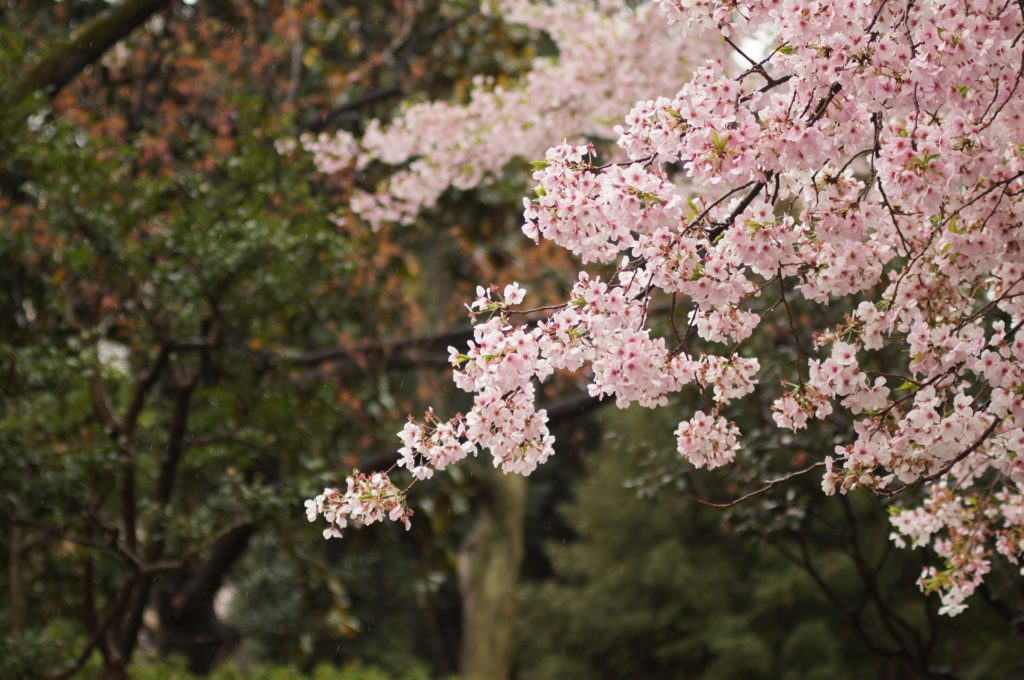 cherry-blossoms-1149175_1920
